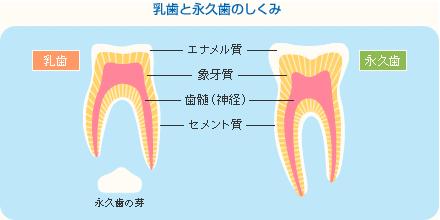 乳歯と永久歯の仕組み